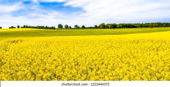 Rapeseed field, panorama of flowers on fields, farm land landscape in spring scenery