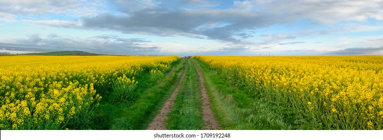 Rapeseed field with pathway, Blooming canola flowers panorama. Rape on the field in summer. Bright Yellow rapeseed oil