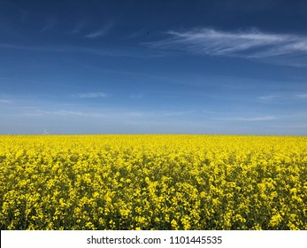 Rapeseed field in rich yellow colors a lovely summer day with blue sky and light clouds.