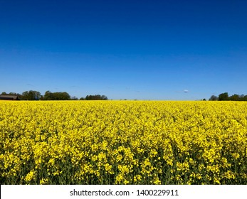 Rapeseed field in rich yellow colors a lovely spring day with clear blue sky and green trees in the horizon line.