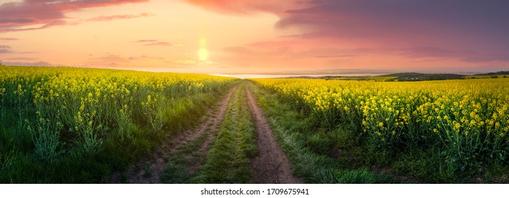 Rapeseed field at sunset, Blooming canola flowers panorama. Rape on the field in summer. Bright Yellow rapeseed oil