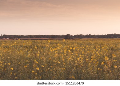 Rapeseed field at sunset. Calm landscape of blooming rapeseed.