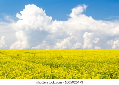 Rapeseed field under Cumulus clouds on a Sunny summer day