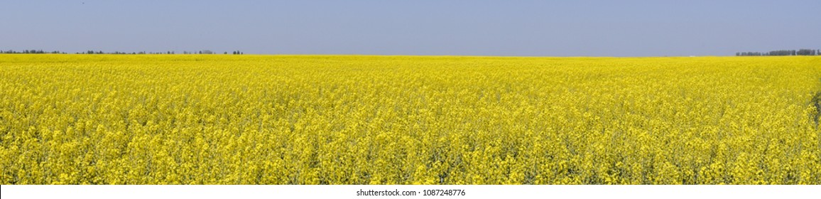 Rapeseed field. Yellow rape flowers, field landscape. Blue sky and rape on the field