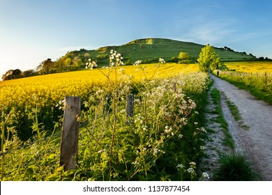 Rapeseed fields at Cley hill, Warminster, Wiltshire
