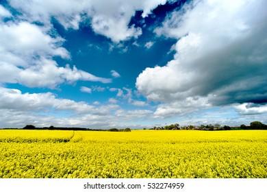 Rapeseed fields, England