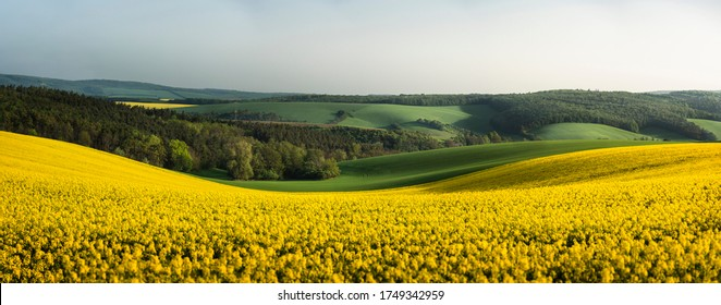 Rapeseed fields panorama, in the South Moravian countryside, in the Czech Republic at sunrise. Blooming yellow canola flower meadows. Rapeseed crop.
