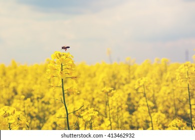 Rapeseed flower with bee on it in rapeseed field