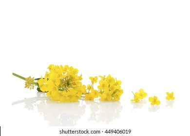Rapeseed flower isolated on white background.
