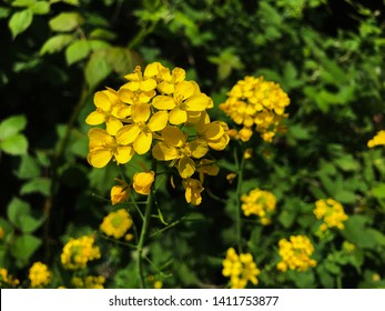 Rapeseed flowers (Brassica napus), also known as rape, oilseed rape, is a bright-yellow flowering member of the family Brassicaceae (mustard or cabbage family), cultivated mainly for its oil-rich seed