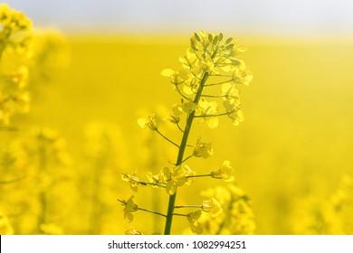 Rapeseed Flowers in rapeseed field. Blooming canola flowers.