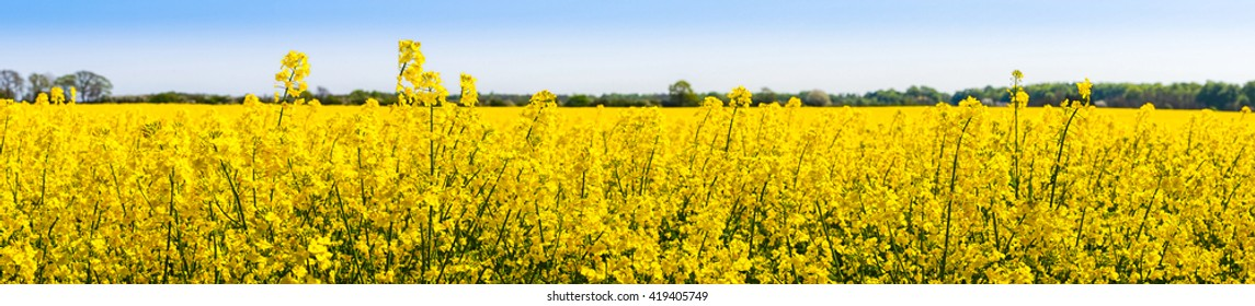 Rapeseed flowers in a springtime panorama scenery