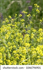 Rapeseed in full bloom, yellow blossoms