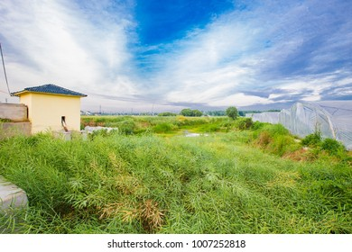 Rapeseed rapeseed green sky