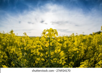 Rapeseed and mustard plantation fields
