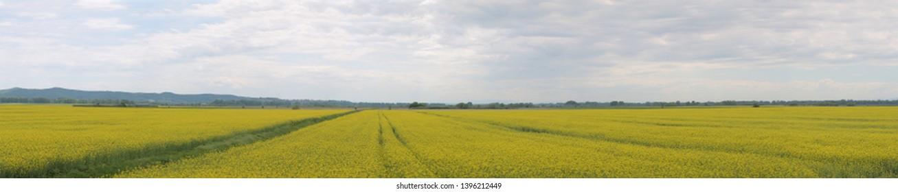 Rapeseed oil field panorama, Slavonia Croatia
