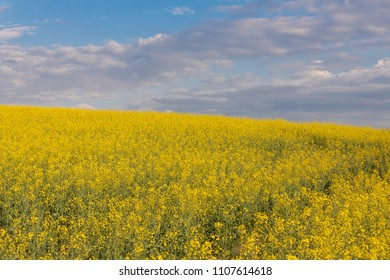 Rapeseed oil hill