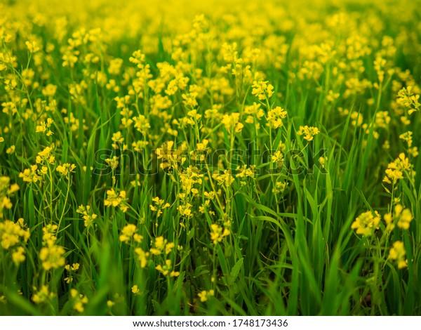 Rapeseed oil in rape field. Beautiful yellow flowers