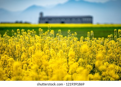 Rapeseed or oilseed rape canola harvest with agriculture silo in the background