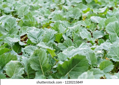 the rapeseed plant, rapeseed cultivation, the young shoots of the rape