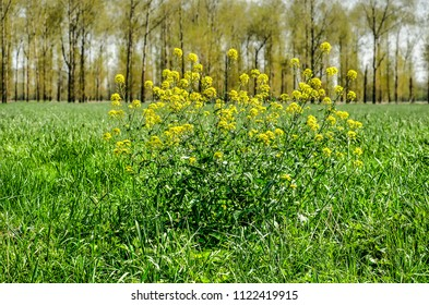 Rapeseed plant in a grass meadow in the Betuwe region, The Netherlands