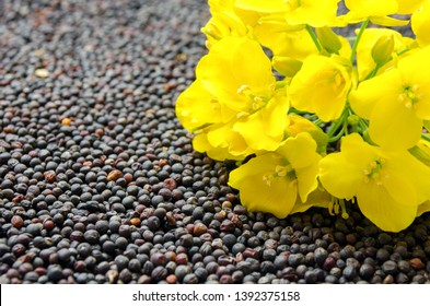 Rapeseed plant with yellow flowers and seeds. Yellow mustard plant. Canola seeds and fresh canola flowers. Yellow blooming bud of a rape on a background of seeds close-up.