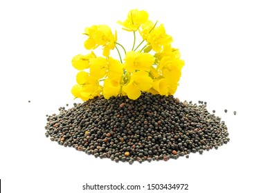 Rapeseed plant with yellow flowers and seeds. Mustard plant yellow blossom. Canola seeds and fresh canola flowers isolated on white background. Canola flower and canola isolated on white.