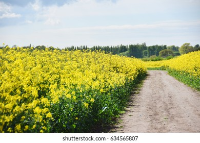 Rapeseed plants field with the walking path