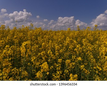 Rapeseed or Rape (Brássica nápus) - herbaceous plant of the family Cruciferae (Brassicaceae). Important food, technical and fodder plant. It is also used to produce biofuels.