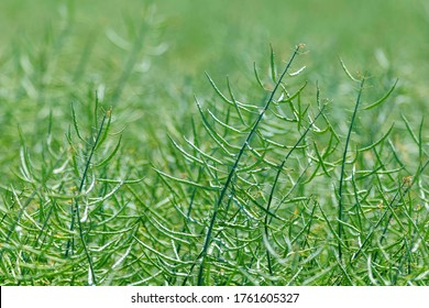 Rapeseed seed pods, Stems of rapeseed, Green Rapeseed field