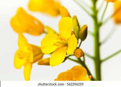 Rapeseed in a studio background. Canola