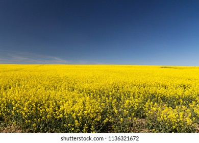 rapeseed yellow endless field with blue sky on sunny day