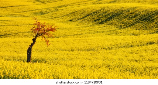 Rapeseed yellow field and cherry blossom. Spring flowering tree against a background of a hill with yellow rapeseed. South Moravia. Czech Republic.
