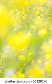 Rapeseed's flower background