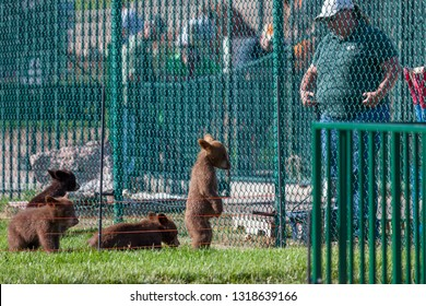 RAPID CITY, SOUTH DAKOTA - June 10, 2014: A standing baby bear looks down with when its keeper talks to it from the other side of a fence at Bear Country USA in Rapid City, SD on June 10, 2014.