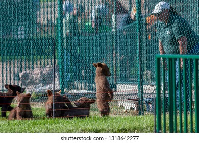 RAPID CITY, SOUTH DAKOTA - June 10, 2014: A standing baby bear looks down with a sad face as its keeper talks from the other side of a fence at Bear Country USA in Rapid City, SD on June 10, 2014
