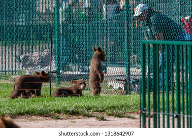 RAPID CITY, SOUTH DAKOTA - June 10, 2014: A standing baby bear looks down with a sad face as its keeper talks from the other side of a fence at Bear Country USA in Rapid City, SD on June 10, 2014.