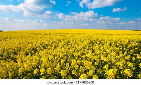 Raps yellow in lower saxony
