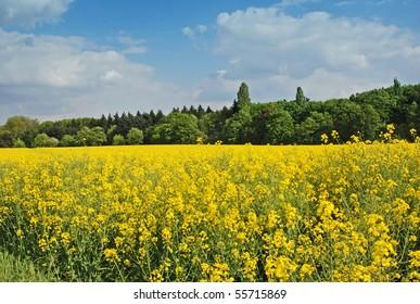 Rapseed in meadow