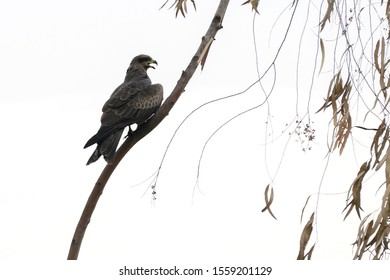Raptor bird Black-eared Kites hawk, falcon white background at Pak Phli Grassland, Nakhon Nayok province Thailand.
