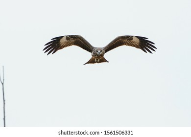 Raptor bird Black-eared Kites hawk, falcon at Pak Phli Grassland, Nakhon Nayok province Thailand.