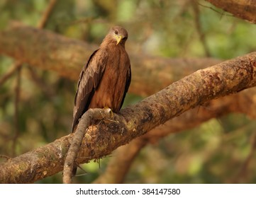 Raptor, Black Kite, Milvus migrans perched on branch over Nile river in forest of Murchison Falls national park, Uganda.