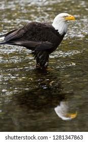 Raptor Center, Sitka, Alaska.  Close-up of a bald eagle standing in river.