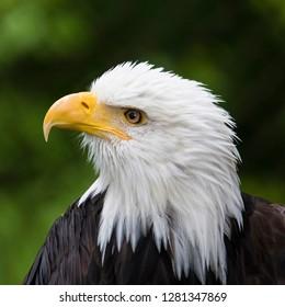 Raptor Center, Sitka, Alaska. Close-up of a bald eagle.