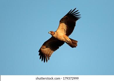 Raptor  in flight against a blue sky, South Africa