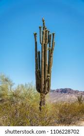 Raptor on saguaro cactus in bloom in Sonoran desert near Phoenix, Arizona