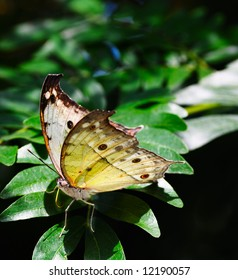 Rare African Salamis parhassus butterfly