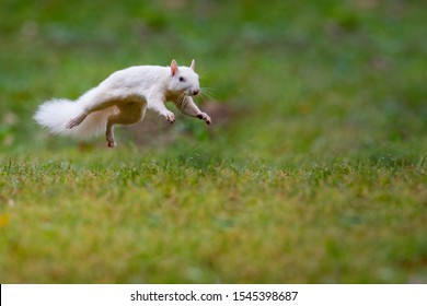 rare albino eastern gray squirrel running and jumping in the grass in early fall in Olney, Illinois