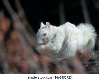 A rare albino eastern grey squirrel (sciurus carolinensis) looking for food.