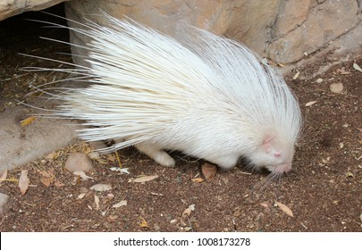 Rare albino porcupine in the zoo looking for food